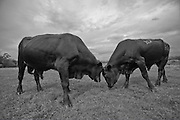 Black and White Photograph of Bulls Being Bulls, Johnson Ranch, Fort Ogden, Florida (2010)