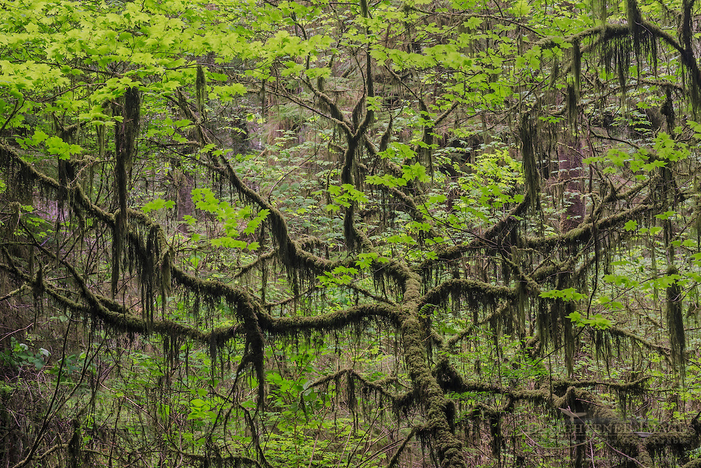Moss-covered tree branches in forest, Jedediah Smith Redwoods State Park, Redwood National and State Parks, California