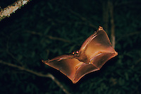 Sunda Flying Lemur (Galeopterus variegatus) gliding through the rain forest in Borneo at night. Also called a Colugo..Bako National Park, Sarawk, Malaysia.