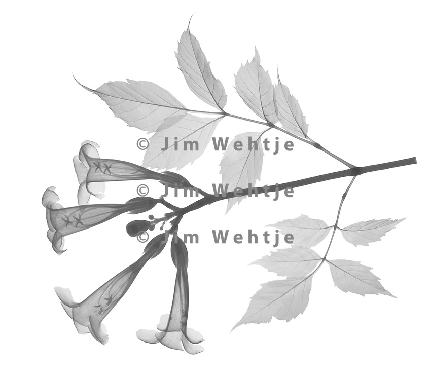X-ray image of a trumpet vine branch (Campsis radicans, black on white) by Jim Wehtje, specialist in x-ray art and design images.