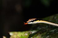 An Elegant Bronzeback snake (Dendrelaphis formosus) in Gunung Leuser National Park, Sumatra, Indonesia