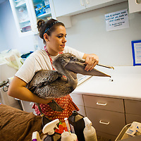 SARASOTA, FL -- October 2012 -- Hospital staffer Sarah Olivero helps an injured brown pelican at Save Our Seabirds (S.O.S.) on City Island in Sarasota, Florida.  (PHOTO / CHIP LITHERLAND)