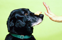 A dog balancing a doggy treat on it's nose with owners hand signaling to hold.