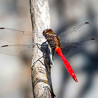 Red Arrow Dragonfly, North Queensland, Australia