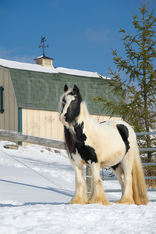 Horse standing by small barn in winter snow and sunlight, a black and white Gypsy Vanner paint mare on alert and looking, a pregnant mare on a farm in Pennsylvania, PA, USA.