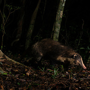The hog badger (Arctonyx collaris), also known as greater hog badger, is a terrestrial mustelid native to Southeast Asia.