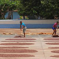 Mujeres de Chuao esparcen las semillas de cacao, para su secado y posterion recolección, Edo. Aragua, Venezuela