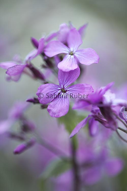Lunaria annua - annual honesty