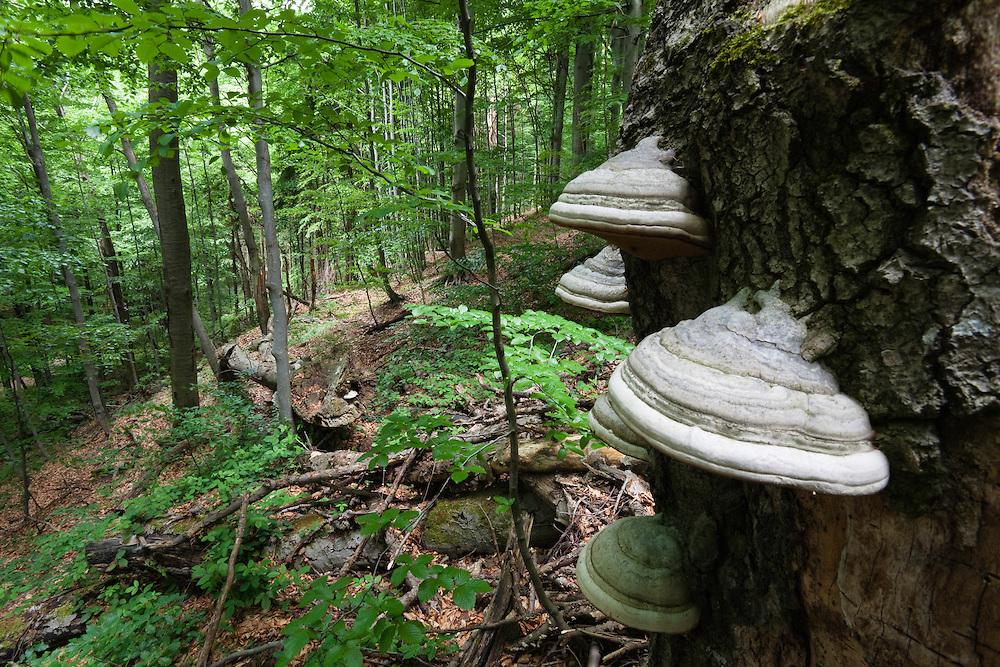 Hoof Fungus growing on dead tree, Fomes fomentarius, Morske Oko Reserve, Vihorlat Mountains, Western Carpathians, Eastern Slovakia, Europe