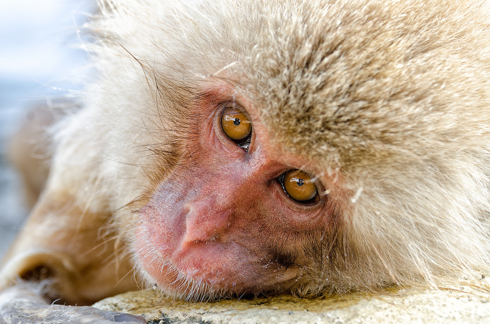 Young Snow Monkey resting