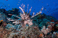Lionfish Cruising the Reef