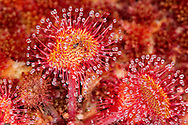 Round-leaved sundew Drosera rotundifolia, close-up growing in sphagnum moss, Flow Country, Scotland, June