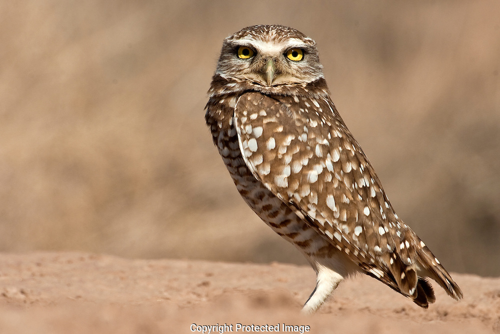 Burrowing Owl perching next to his burrow. Standing erect and staring hard at intruders in his territory.