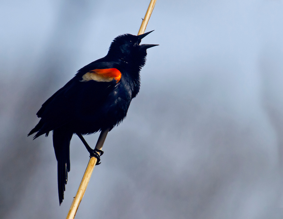 A male red winged blackbird making it's distinctive mating call looking for a female.