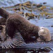 Sea Otter, (Enhydra lutris) Mother grooming baby in kelp bed. Aleutian Islands. Alaska.