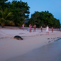 Green turtle returning to sea after laying eggs, Pom Pom Island, Sabah, Borneo, East Malaysia, South East Asia