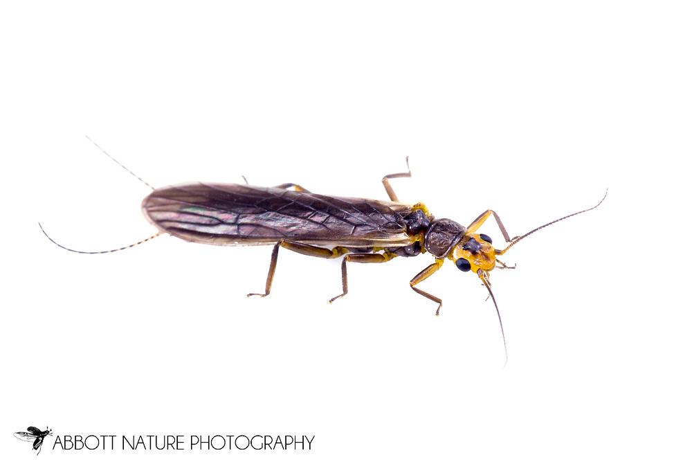 Stonefly (Perlesta sp.)<br /> ARKANSAS: Benton Co.<br /> 14 Foster Lane, Bella Vista<br /> 36.49329, -94.31928  7-Jun-2014<br /> J.C. Abbott #2665 &amp; K.K. Abbott