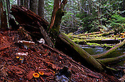 Mushrooms and Ross Creek at Ross Creek Cedars Natural Research Area in the Kootenai National Forest. Northwest Montana