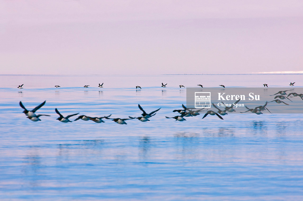 Birds in the Arctic Ocean, Hinlopenstretet, Spitsbergen, Norway