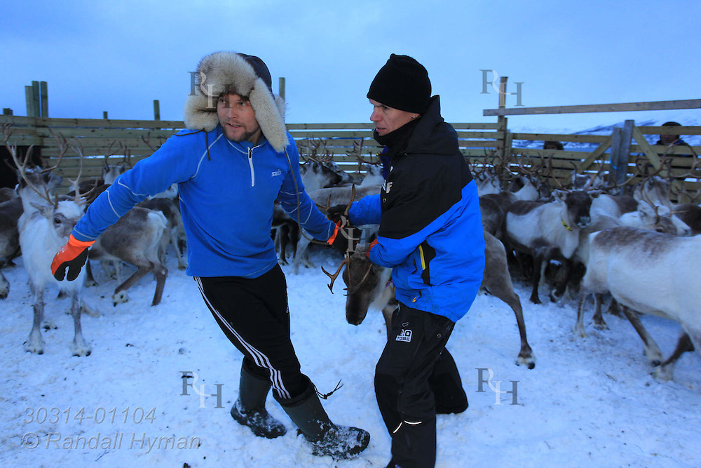Sami herders from the Oskal family sort their reindeer for long delayed move to highlands in January in corral near Tromso, Norway.