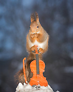 "EXCLUSIVE<br /> Photographer Pictures Squirrels With Tiny Musical Instruments Through Kitchen Window<br /> <br /> Some years ago, squirrels started to come to photographer Geert Weggen's  garden, He decided to build an outside studio from a balcony and started to shoot photos his kitchen window, Some days upto 6 squirrels visit Geert daily.<br /> <br /> This year Geert worked on an idea for a children's book, ""Squirrel Teaching You The Alphabet"", and was confronted with some letters like an object starting with an ""X"". That became a squirrel photo with a xylophone. From there Geert started doing a series of squirrel photos with music instruments. ""It took months to get some music instruments with the right size. I try to bring some magic, wonder and happiness with my work"", these are real photos. Sometimes I take away a wire or some food.<br /> <br /> Photo Shows: JUST A BREAK....red squirrel on a violin and snow <br /> ©Geert Weggen/Exclusivepix Media"