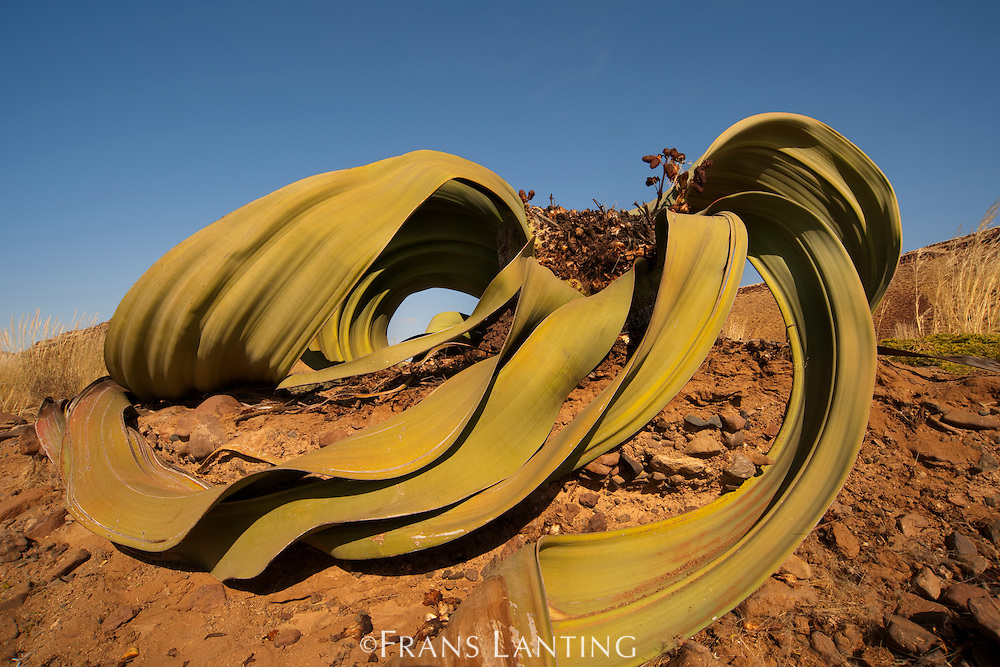Welwitschia plant, Welwitschia mirabilis, Messum Crater, National West Coast Recreation Area, Namibia