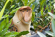 Proboscis Monkey<br /> Nasalis larvatus<br /> Dominant male <br /> Sabah, Malaysia