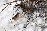 White-throated Sparrow in the Snow. Backyard Winter Nature in New Jersey. Image taken with a Nikon D3s and 80-400 mm VR lens (ISO 200, 400 mm, f/8, 1/500 sec).
