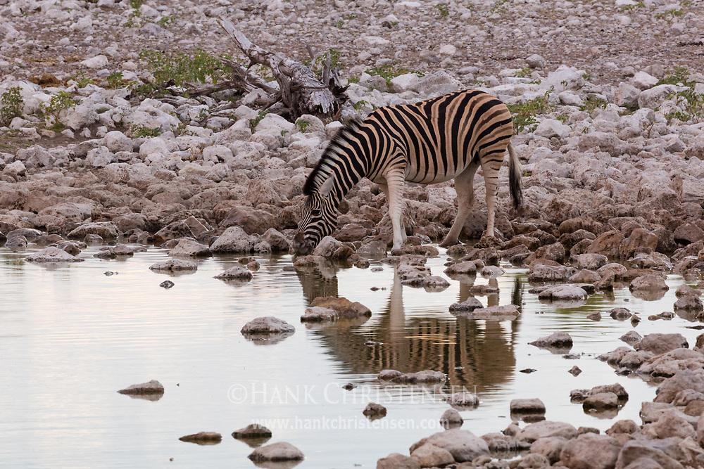A lone zebra drinks at the Okaukuejo waterhole at dusk, Etosha National Park, Namibia.