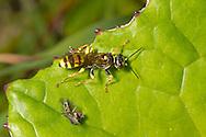 Field Digger-wasp - Mellinus arvensis