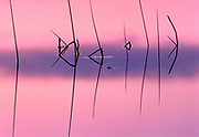 Reeds at sunrise on Childs Lake, Duck Provincial Park, Manitoba, Canada