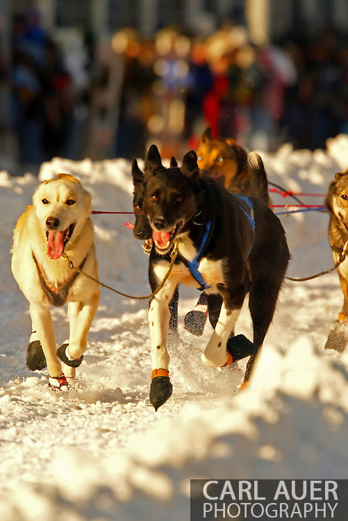 3/3/2007:  Anchorage Alaska -  The dogs of Veteran Ramey Smyth of Houston, AK during the Ceremonial Start of the 35th Iditarod Sled Dog Race