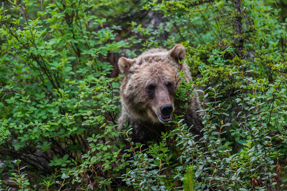 grizzly bear, banff national park, Alberta, Canada