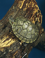 Red-eared Terrapin Trachemys scripta elegans Length to 25m Freshwater turtle, originating eastern North America. Body is protected by a shell comprising scale-like plates on dorsal surface. Neck and legs are striped; note red patch on side of head. Widely kept as a pet and often liberated, outside its range. Because it is a voracious predator, it is a conservation problem and regarded as an unwelcome invasive species.