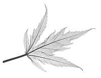 X-ray image of a fireball hibiscus leaf (Hibiscus 'Fireball', black on white) by Jim Wehtje, specialist in x-ray art and design images.