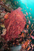 Barrel Sponge and Anthias..Shot in Indonesia