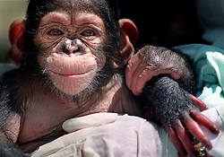 4/15/97 A four-month-old male chimpanzee is being raised by humans at the North Carolina Zoological Park in Asheboro because their natural mothers did not provide them with proper care. L.MUELLER/The Charlotte Observer