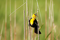 A Yellow Headed Blackbird stands on two cattails to help it stay stable as it sings to its partner on a windy spring morning!