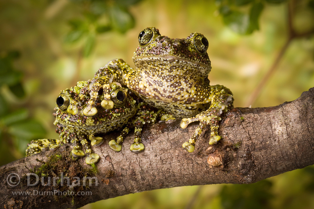 A pair of vietnamese mossy frogs (Theloderma corticale). Native to northern vietnam. captive.