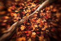 A fallen log amonst a thick blanket of autumn maple leaves.