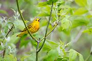 Yellow Warbler, Setophagapetechia, male, Monroe County, Michigan