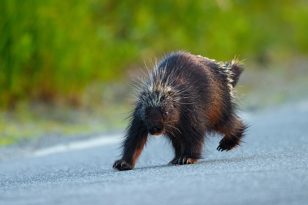 Porcupine, Acadia National Park, Maine