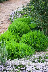 The spring foliage of Achillea ageratum - English mace