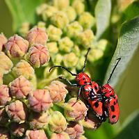 A close-up of mating red milkweed beetles (Tetraopes tetrophthalmus) on young common milkweed (Asclepias syriaca) buds, Big Meadow, Shenandoah National Park, Virginia