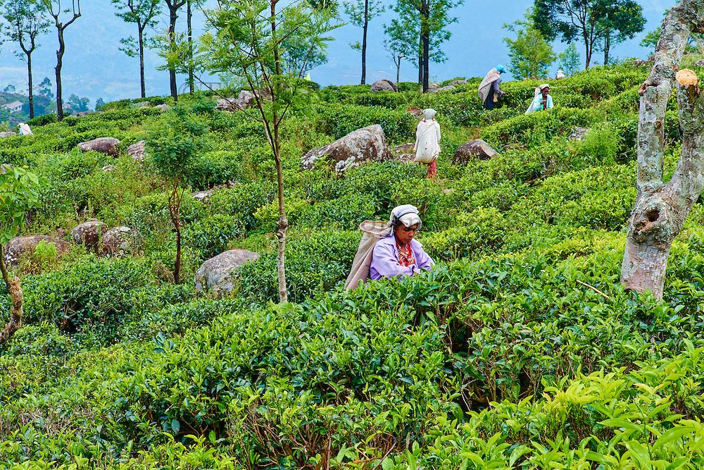 Sri Lanka, province de l'Uva, Haputale, cueillette du thé dans les plantations de thé près de Lipton's Seat, cueilleuses tamoules // Sri Lanka, Ceylon, Central Province, Haputale, tea plantation in the Highlands near Lipton's seat, Tamil women tea pickers picking tea leaves
