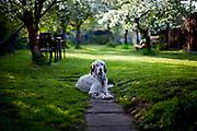 """English Setter """"Rudy"""" am 28.04. 2018 zwischen Apfelblüten im Garten. Rudy wurde Anfang Januar 2017 geboren und ist vor einiger Zeit zu seiner neuen Familie umgezogen."""