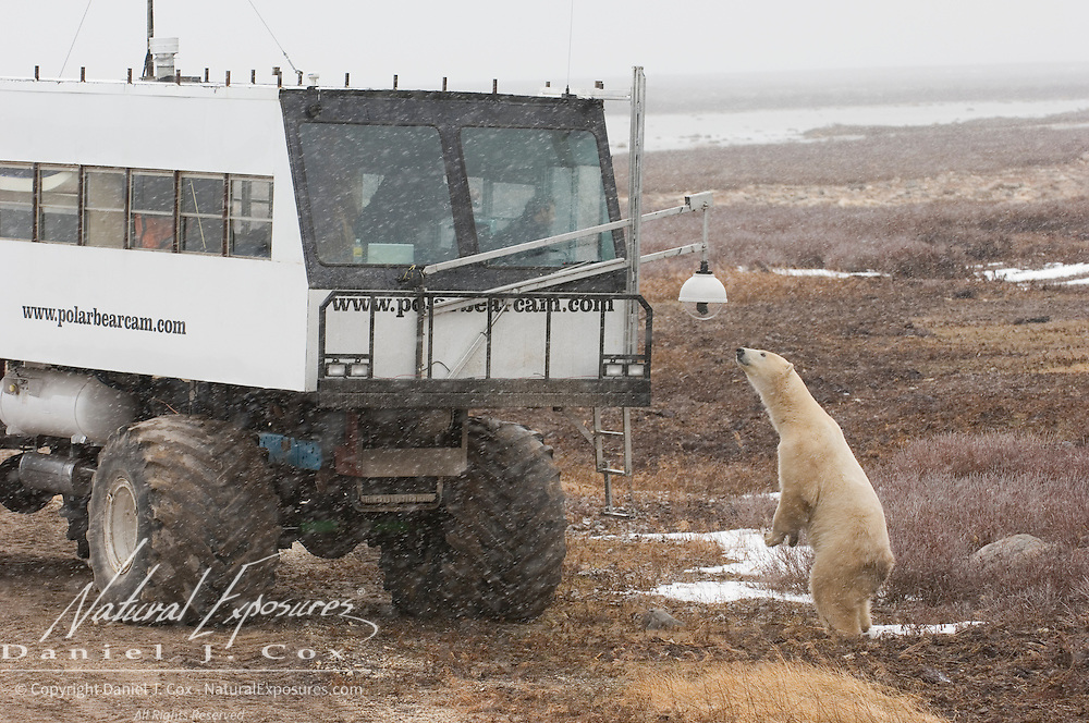 A curious polar bear (Ursus maritimus) intrigued by the remote camera that was used to stream video to the National Geographic web site.