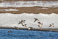 Mallards flying over Nelson Lake in west-central North Dakota on Monday, Feb. 26, 2018.