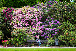 © Licensed to London News Pictures. 28/05/2015. Leeds, UK. A man enjoys the warm weather & his lunch amongst the Rhododendron in Temple Newsam Park in Leeds . Photo credit : Andrew McCaren/LNP