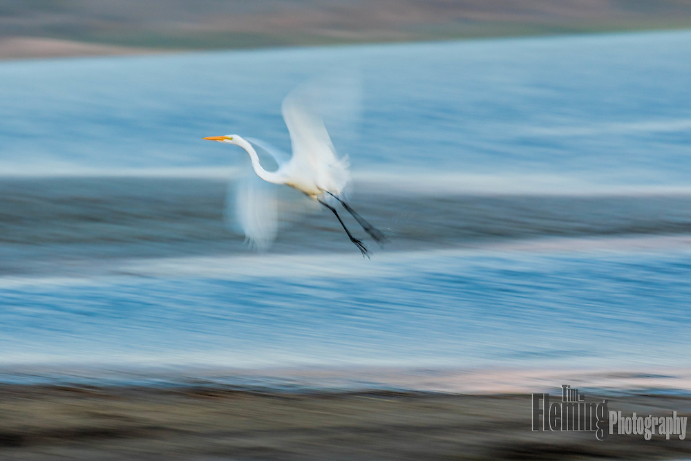 Great egret taking off from Abbot's Lagoon in Pt Reyes National Seashore, California